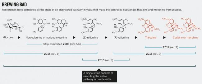 효모에서 모르핀을 생합성 하는 과정의 핵심을 보여주는 도식이다. 포도당에서 (S)레티쿨린까지 앞의 절반과 (R)레티쿨린에서 모르핀까지 뒤의 절반에 성공했다는 논문이 각각 올해 5월과 4월에 발표됐고, 결정적인 단계인 (S)레티쿨린에서 (R)레티쿨린을 만드는 효소를 밝힌 논문이 7월에 발표됐다. 그 뒤 한 달 만에 전 과정을 한 효모에 통합하는데 성공했다는 논문이 발표됐다. - 네이처 제공